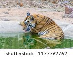 wild bengal tiger  panthera... | Shutterstock . vector #1177762762