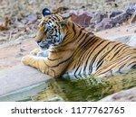 wild bengal tiger  panthera... | Shutterstock . vector #1177762765