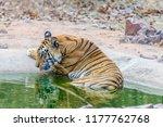 wild bengal tiger  panthera... | Shutterstock . vector #1177762768
