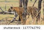 wild bengal tiger  panthera... | Shutterstock . vector #1177762792