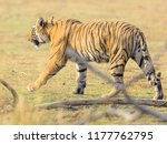 wild bengal tiger  panthera... | Shutterstock . vector #1177762795