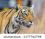wild bengal tiger  panthera... | Shutterstock . vector #1177762798