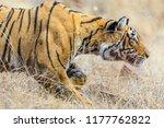 wild bengal tiger  panthera... | Shutterstock . vector #1177762822