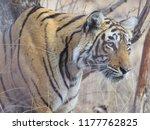 wild bengal tiger  panthera... | Shutterstock . vector #1177762825