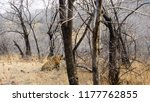 wild bengal tiger  panthera... | Shutterstock . vector #1177762855
