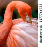 Close Up Of A Greater Flamingo...