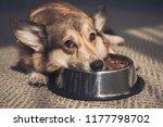 sad pembroke welsh corgi lying... | Shutterstock . vector #1177798702