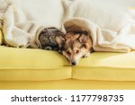 Stock photo scottish fold cat and welsh corgi dog lying under blanket together on sofa 1177798735