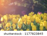 group of colorful tulip. yellow ...   Shutterstock . vector #1177823845