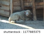 sheep  portrait photo | Shutterstock . vector #1177885375