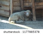 sheep  portrait photo | Shutterstock . vector #1177885378