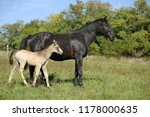 mare and foal standing in grass ... | Shutterstock . vector #1178000635