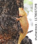 yellowish reddish lizard ... | Shutterstock . vector #1178037298