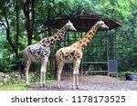 the giraffe  giraffa  is a... | Shutterstock . vector #1178173525