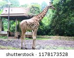 the giraffe  giraffa  is a... | Shutterstock . vector #1178173528