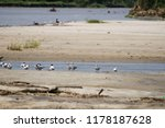 caspian and common terns at... | Shutterstock . vector #1178187628