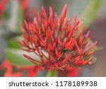 beautiful spike flower blooming ... | Shutterstock . vector #1178189938