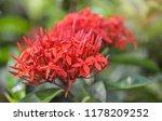 beautiful spike flower blooming ... | Shutterstock . vector #1178209252