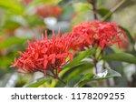 beautiful spike flower blooming ... | Shutterstock . vector #1178209255