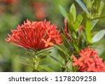 beautiful spike flower blooming ... | Shutterstock . vector #1178209258