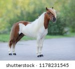 Small photo of Full body portrait of skewbald American Miniature Horse standing on nature background.