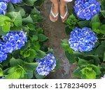 hydrangea flower with foots... | Shutterstock . vector #1178234095