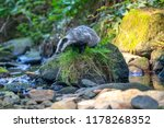 badger in forest  animal in... | Shutterstock . vector #1178268352