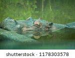 hypothalamus  endangered and... | Shutterstock . vector #1178303578