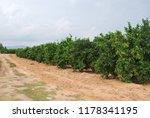 spanish orange grove  valencia | Shutterstock . vector #1178341195