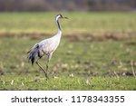 eurasian crane  grus grus  in...   Shutterstock . vector #1178343355
