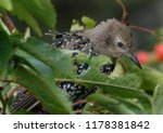young starling in plumage... | Shutterstock . vector #1178381842