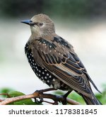 young starling in plumage... | Shutterstock . vector #1178381845