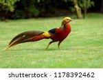 Colorful Golden Pheasant