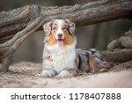 australian shepherd dog in... | Shutterstock . vector #1178407888