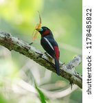 black and red broadbill ... | Shutterstock . vector #1178485822