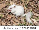 White  Albino  Chipmunk