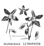 set of aquilegia vulgaris... | Shutterstock .eps vector #1178494558