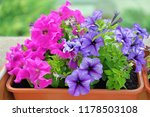Pink And Violet Petunia...