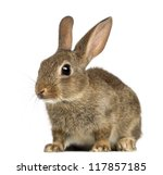 Stock photo european rabbit or common rabbit months old oryctolagus cuniculus against white background 117857185