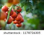 ripe organic tomatoes in garden ... | Shutterstock . vector #1178726305