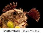 beetle sanjuanero portrait ... | Shutterstock . vector #1178748412