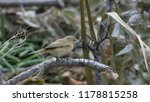 common chiffchaff in winter... | Shutterstock . vector #1178815258