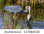 Great Blue Heron Catching A...
