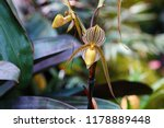 paphiopedilum rothschildianum ...   Shutterstock . vector #1178889448