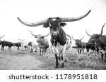 Longhorn Bull And Cows Black...