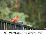 red male northern cardinal bird ... | Shutterstock . vector #1178971048