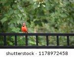red male northern cardinal bird ... | Shutterstock . vector #1178972458