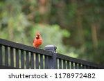 red male northern cardinal bird ... | Shutterstock . vector #1178972482