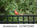 red male northern cardinal bird ... | Shutterstock . vector #1178972485