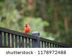 red male northern cardinal bird ... | Shutterstock . vector #1178972488